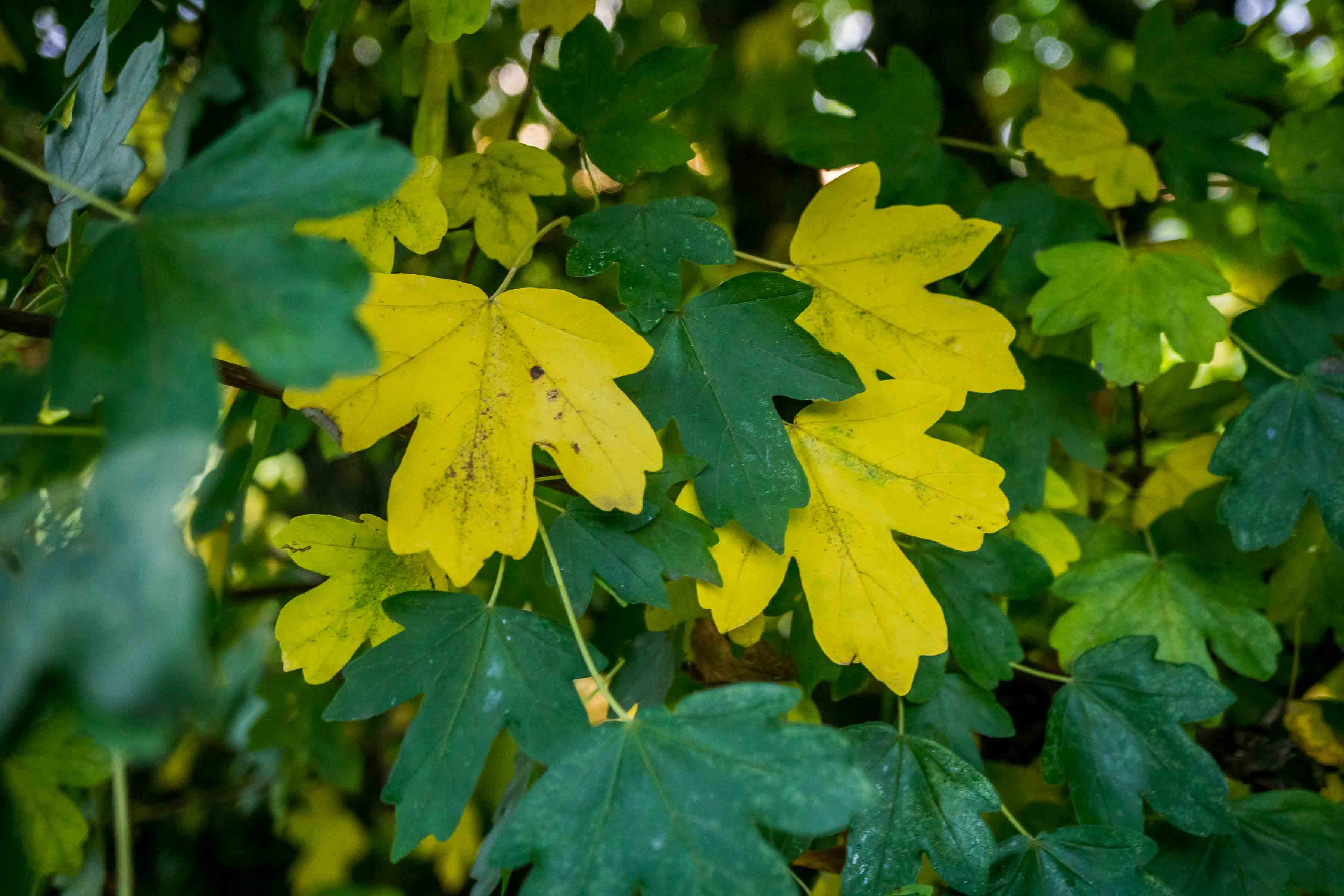 Field maple leaves turning from green to yellow