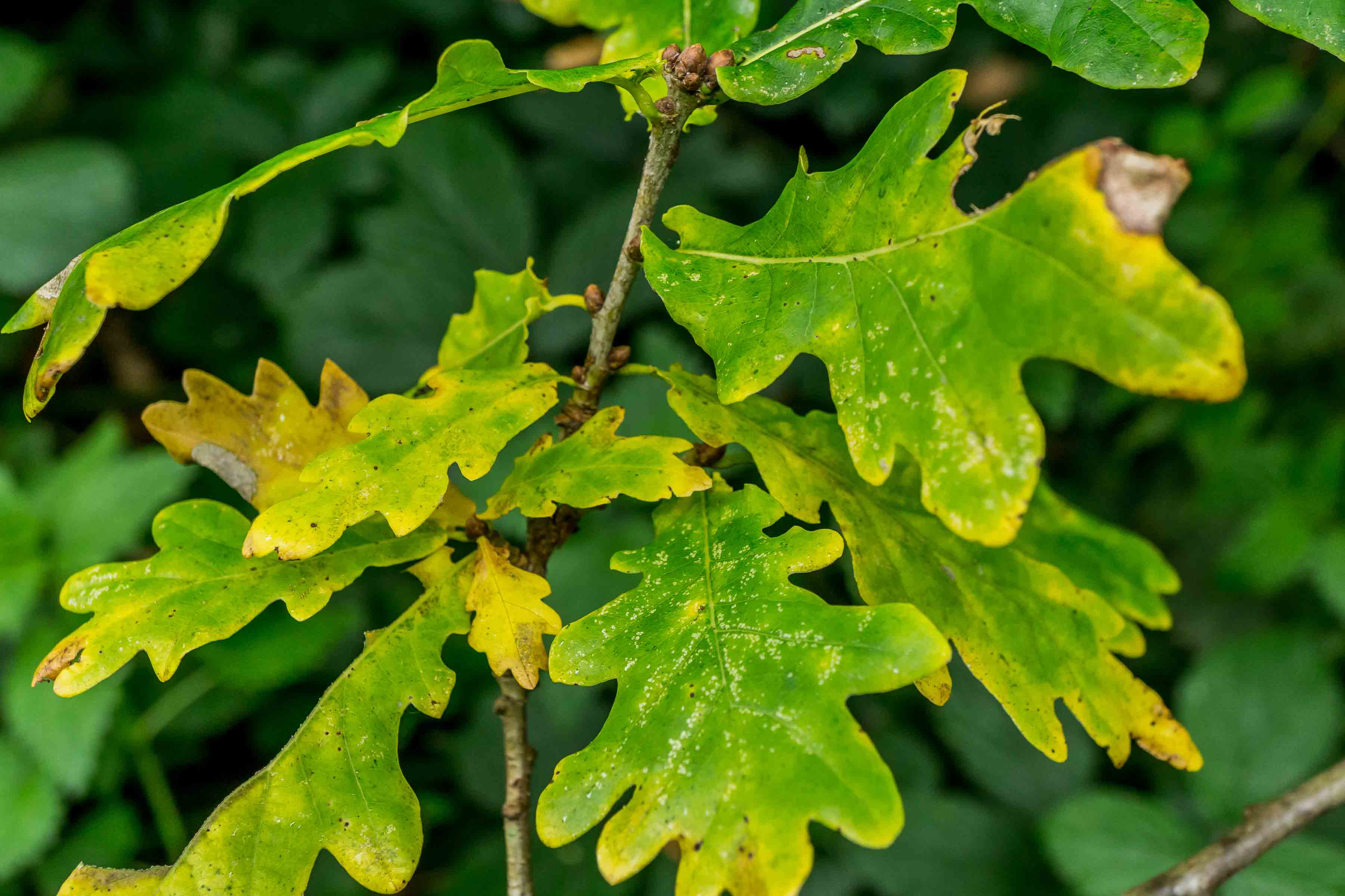 Green leaves from oak tree turning yellow on their edges