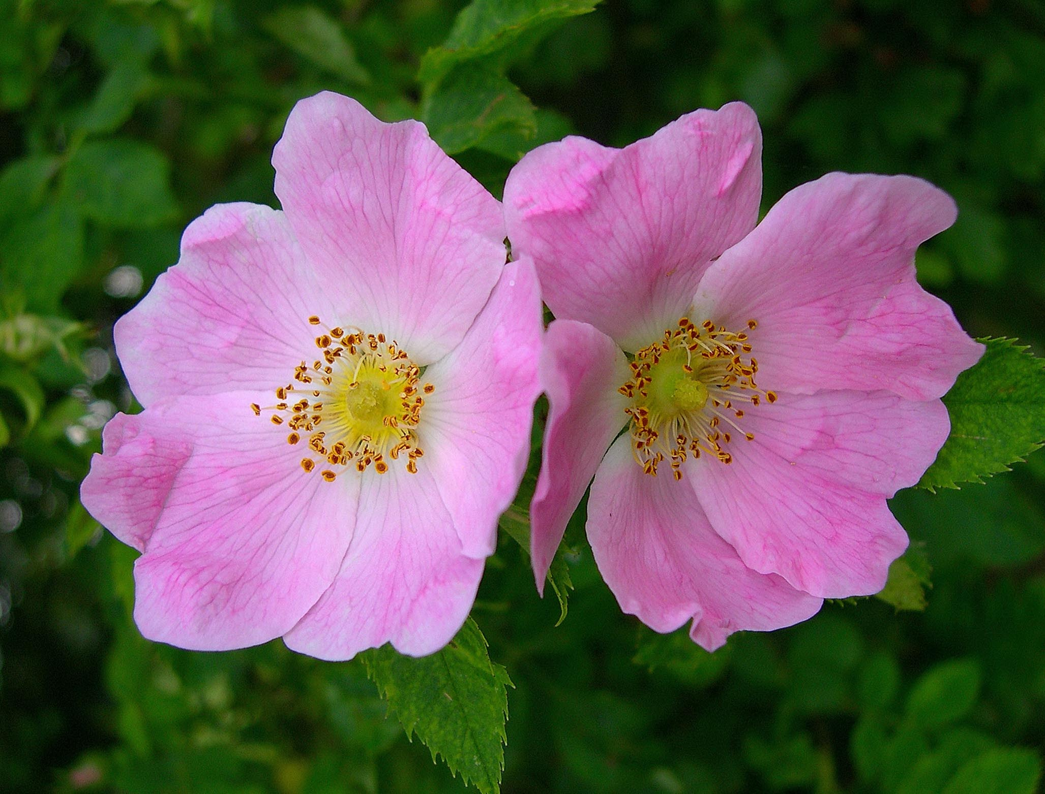 Pink dog rose flowers