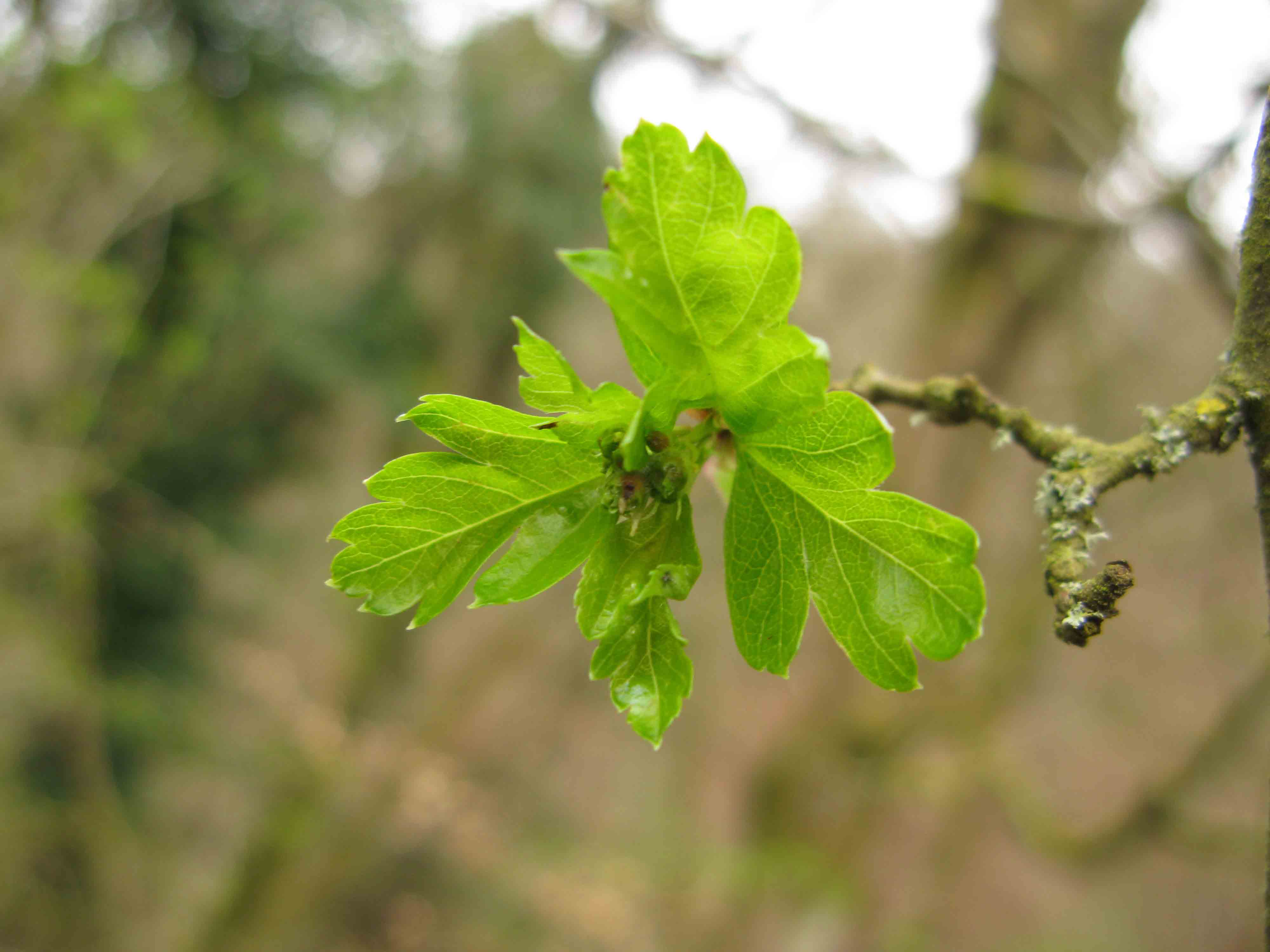 Hawthorn leaves starting to grow