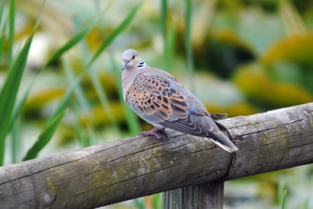 Turtle dove perched on a fence