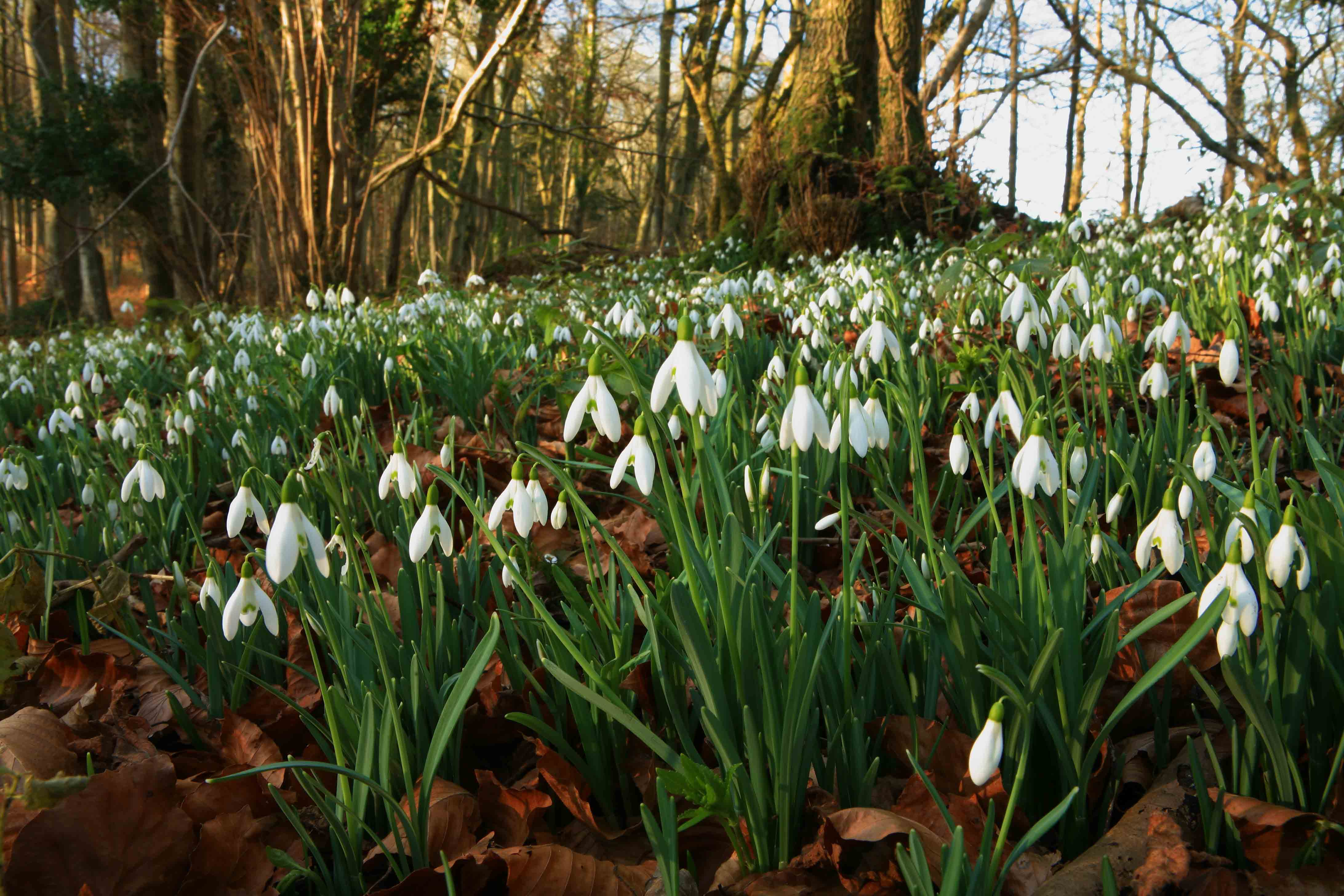 Snowdrop flowers in a forest
