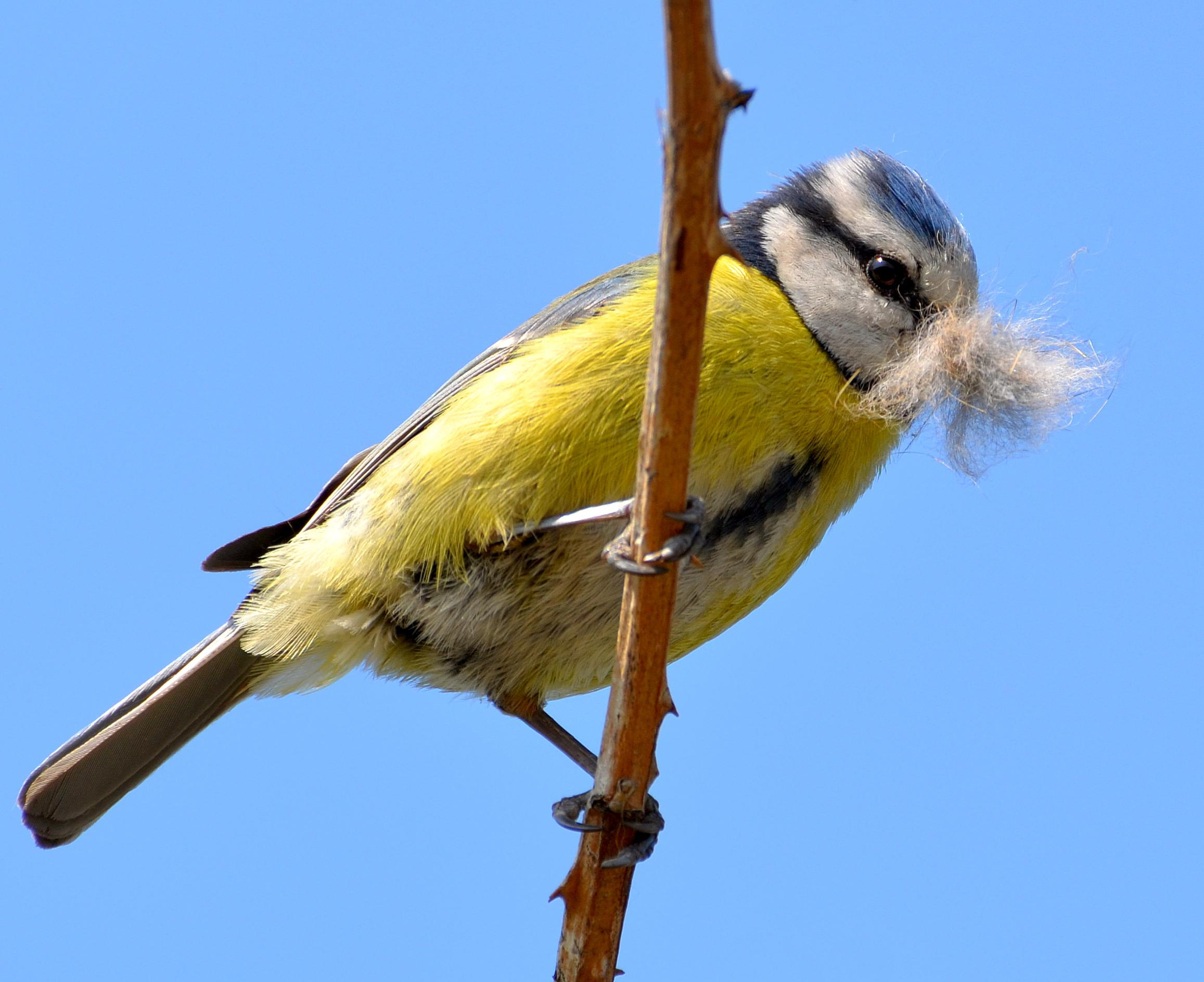 A blue tit with nesting material
