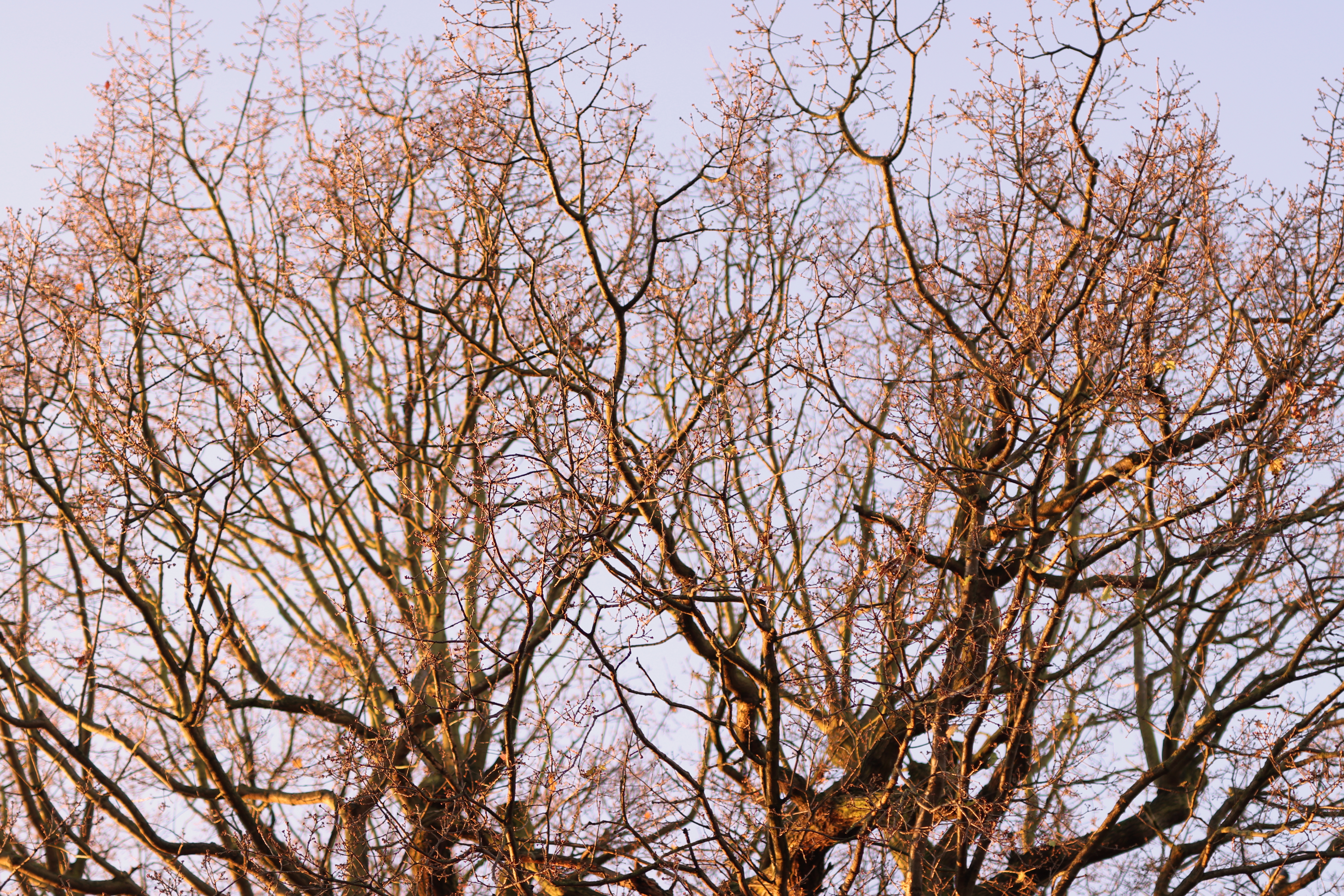 The bare winter branches of the top of an oak tree canopy